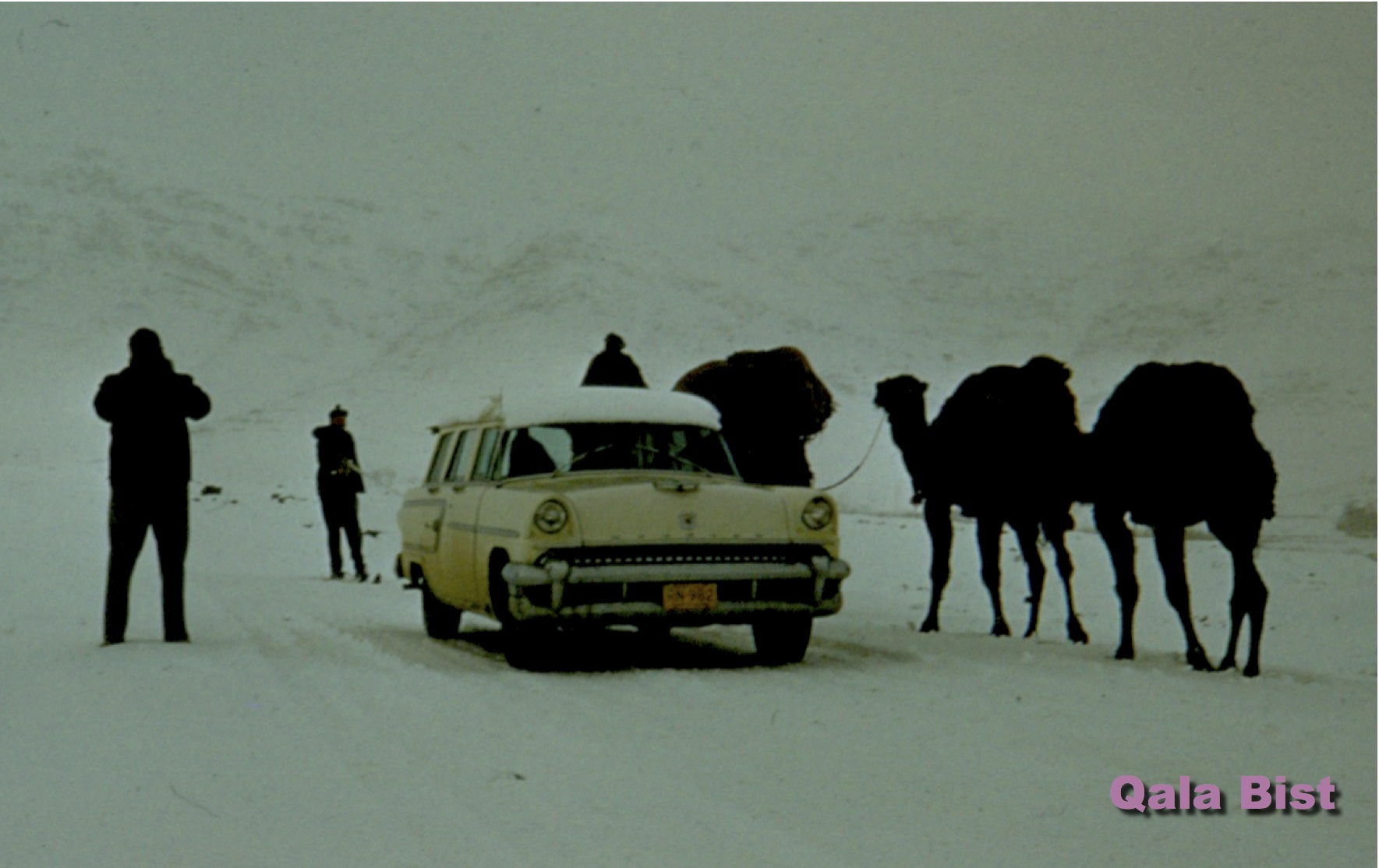 Camels That Live In Snow Camels In Snow Pink